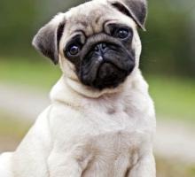 Veterinarias Sin datos  perro pastor y Miel pura